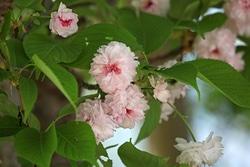 兼六園菊桜。加賀藩前田家ゆかりのサトザクラ。やさしい花色とふっくらとした花容に引きつけられてしまう(撮影:牧稔人)