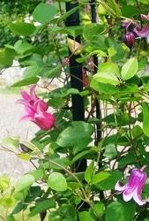 クレマチス'ハッピー・ダイアナ'(左側のピンクの花)。日本人好みのつぼ型の花(写真提供:金子明人さん)