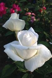 『ベルサイユのバラ』から名づけられた「オスカル フランソワ®」