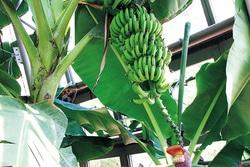 温室のバナナ