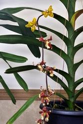 デモルフォルキス・ローウィー(Dimorphorchis lowii)。1本の花茎に赤と黄色の違った模様の花が咲いている(写真提供:蘭友会)