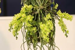 キロスキスタ・プシラ(Chiloschista pusilla)。葉が退化し、根から直接、花茎が出ているように見える(写真提供:蘭友会)