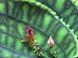 レパンティス・カロディクティオン(Lepanthes calodictyon)。あまりにも小さな花だが、その形はユニーク(写真提供:蘭友会)