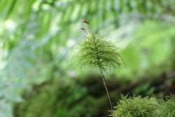 「深山の章 細く長く生き、森の主役に」湿度が高く敵の少ない深山は、コケにとって最適な土地。1固体が20cmを超えるコケ、20年以上も生きるコケ、そして幼木や小動物を育てる森の中での役割など、実はかけがえのない森のコケの生き方。