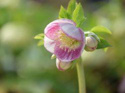 クリスマスローズ「パストリッシュ ストレイン」。シンプルなシングル咲きを送り出している若手ナーセリー、大和園の人気品種(写真提供:大和園)