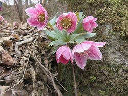 清楚な雰囲気にひきつけられてしまうチベタヌス原種(写真提供:ズーニィガーデン)