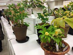 会場には日本クリスマスローズ協会会員が育てた見事な開花株がずらりと並ぶ。クリスマスローズ園芸のお手本になる