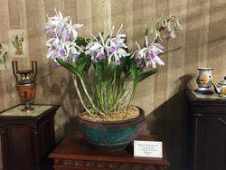 記念特別展示「奇跡のカトレア」のカトレア・ドミニアーナ。1859年に作出された世界初のカトレア交配種