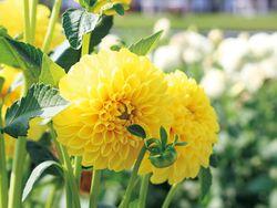 かわいらしい花姿の「イエローパール」