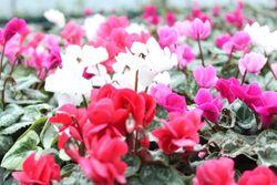 八重咲きシクラメン「ツヴァイ」。冬の人気鉢花のシクラメン。花が八重咲きになり、豪華になっている