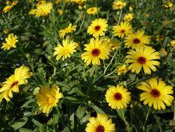 カレンジュラ。寒さに強くて花もよく咲くカレンジュラ「レモンスフレ」(右側、中心が赤い花)とカレンジュラ レモンパンナコッタ(左側、中心が黄色)。和名キンセンカ