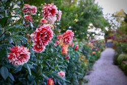 秋のバラクラを彩る「ダリアの庭」
