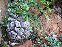 ディオスコレア(アフリカ亀甲竜) の実生