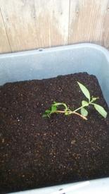 甘茶の成長記録(挿し木編) 挿し木の植え替え(4月)