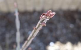 コンパクトなニシキギ だいぶ芽が大きくなってきました!