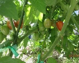 トマトの種から 6月16日