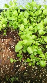 ロベリア栽培 成長🌱