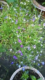 ロベリア栽培 咲いたよ