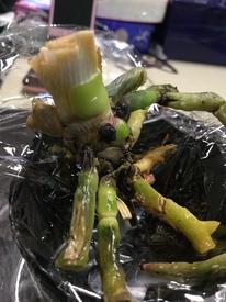 葉が全部落ちた胡蝶蘭 再度 根の整理と殺菌剤