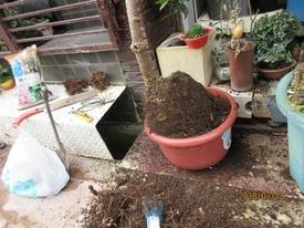 鉢(3号鉢)にアケビをならしたらプロだ! 10号プラスチック鉢に植え替える。