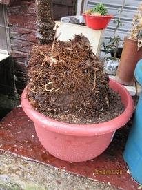 鉢(3号鉢)にアケビをならしたらプロだ! 仕上がり、あまり、きれいでないが。