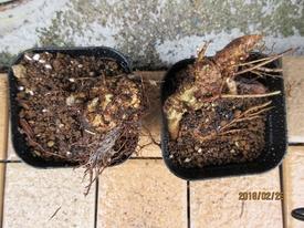 鉢(3号鉢)にアケビをならしたらプロだ! アケビ 古木盆栽の出来上がり。