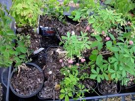 鉢(3号鉢)にアケビをならしたらプロだ! アケビを盆栽にする基本は挿木です。