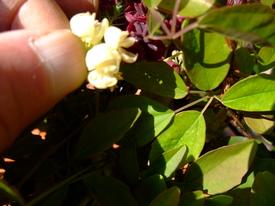 鉢(3号鉢)にアケビをならしたらプロだ! 人工授粉はハチなどの代わりだ!