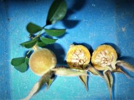 『八重山ノイバラ』は、作りやすい! 9月2日 【偽果】の中を覗く。