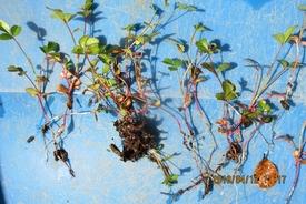 『八重山ノイバラ』は、作りやすい! 【種からの苗を植える】