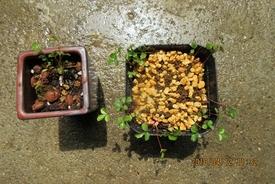 『八重山ノイバラ』は、作りやすい! どんな花が咲くのだろうか?