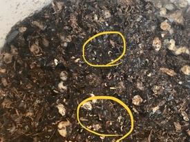 種から マツバボタンそだレポ 発芽