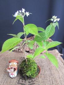 山アジサイ『七段花』の苔玉盆栽づくり 山あじさい『七段花』の苔玉盆栽完成!