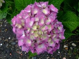 山アジサイ『七段花』の苔玉盆栽づくり 子供時の「手毬咲き」は、西洋あじさい?