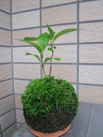 山アジサイ『七段花』の苔玉盆栽づくり 挿木を苔玉に挿し1年間育てる。