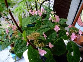 山アジサイ『七段花』の苔玉盆栽づくり 気付いたこと02