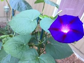 アサガオ(崑崙朝顔) 毎朝、咲いています