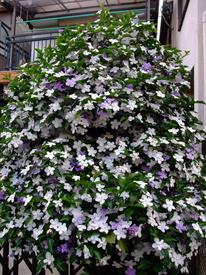 『ニオイバンマツリ』はシンボルツリーに! 20170515 匂いも花も真っ盛り