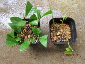 『ニオイバンマツリ』はシンボルツリーに! ていねいな挿木づくり