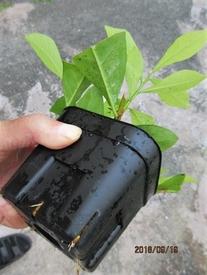 『ニオイバンマツリ』はシンボルツリーに! 新葉出て、ポットから根も出る。