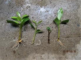 『ニオイバンマツリ』はシンボルツリーに! 根のチェック。