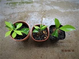 『ニオイバンマツリ』はシンボルツリーに! あわてず、植木用と盆栽用に利用予定。