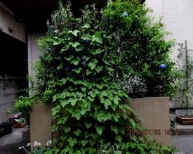 スカーレットちゃんリベンジ スカーレットは9月咲きでした。