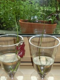 育つのかな? 毎葉蓮  種からトライ 発芽から1週間、2本目の芽もすくすく