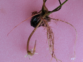 育つのかな? 毎葉蓮  種からトライ 成長点    クローズアップ