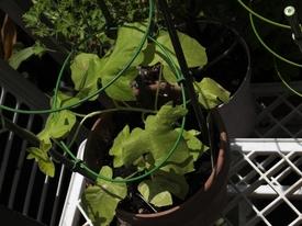 のんびり朝顔栽培 団十郎 暑いのに頑張ってます!