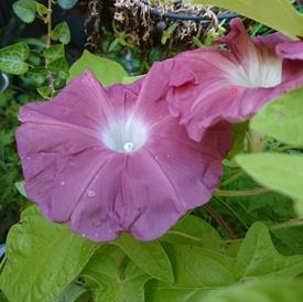 のんびり朝顔栽培 団十郎 初めての花が咲きました!