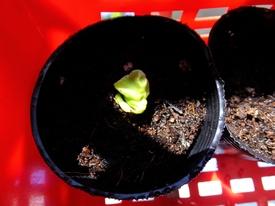 のんびり朝顔栽培 団十郎 良かった…発芽しました!