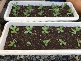 初めてのトルコギキョウ、頑張る❗️ 移植:プランターに植えました。