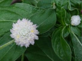 真夏でも元気に咲くという千日紅を育てて、花を楽しむ(その1) センニチコウ開花②